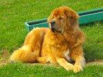 Pies mastif tybetański